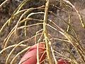 Stanleya viridiflora (3940179760).jpg