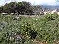 Starr-031110-0019-Cordia subcordata-restoration site-Kanaha Beach-Maui (24675316815).jpg