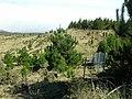 Starr-041211-1469-Pinus radiata-small trees-Puu Nianiau-Maui (24603051032).jpg