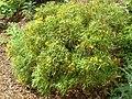 Starr-050407-6240-Bidens menziesii-habit-Maui Nui Botanical Garden-Maui (24449449700).jpg