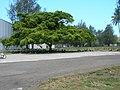 Starr-080531-8928-Ficus benjamina-habit with Laysan albatross-Gymnasium Sand Island-Midway Atoll (24817862471).jpg