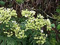 Starr-081230-0650-Montanoa hibiscifolia-flowers and fruit forming-Upper Kaulana-Kahoolawe (24631749990).jpg