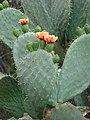 Starr-090426-6386-Opuntia ficus indica-flowers-Lower Kula Rd Kula-Maui (24952655055).jpg