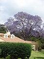 Starr-090513-7768-Jacaranda mimosifolia-flowering habit-Seabury Olinda-Maui (24587515359).jpg