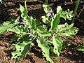Starr-090707-2399-Solanum melongena-in vegetable garden-Olinda-Maui (24673555670).jpg