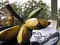 Starr-091112-9623-Musa x paradisiaca-Iholena fruit from Banana Patch LZ-Olinda-Maui (24622119739).jpg