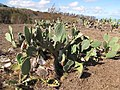 Starr-100901-8822-Opuntia ficus indica-fruiting habit and dry conditions-Kula-Maui (24682727679).jpg