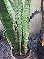 Starr-110124-0067-Sansevieria trifasciata-habit-Sacred Garden of Maliko-Maui (24442687874).jpg