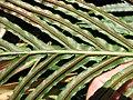 Starr-110307-1883-Blechnum gibbum-frond with sori-Kula Botanical Garden-Maui (24959037902).jpg