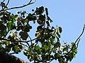 Starr-110330-4231-Ochroma pyramidale-leaves-Garden of Eden Keanae-Maui (24713768319).jpg