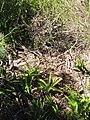 Starr-110331-4376-Agapanthus praecox subsp orientalis-habit-Shibuya Farm Kula-Maui (25055309066).jpg