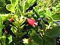 Starr-110524-5825-Vaccinium sp-fruit-Haleakala National Park-Maui (24977863602).jpg