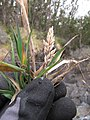 Starr-110705-6769-Holcus lanatus-seedhead and leaves-Waiale Gulch-Maui (25098354305).jpg