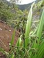 Starr-120425-5147-Dianella sandwicensis-form multipedicellata-Waikapu Valley-Maui (24844610190).jpg