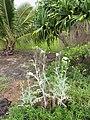 Starr-120606-6944-Argemone glauca-flowering habit-Kahanu Gardens Hana-Maui (25144560065).jpg