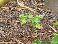 Starr-120620-9733-Jatropha curcas-seedlings in duff-Kula Agriculture Park-Maui (25185489735).jpg