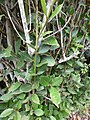 Starr-150811-0526-Laurus nobilis-leaves-Enchanting Floral Gardens of Kula-Maui (25295610055).jpg