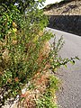 Starr-171110-1060-Solanum americanum-habit-Leleiwi Front Country Haleakala National Park-Maui (23933650207).jpg