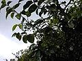 Starr 020925-0044 Antidesma platyphyllum.jpg