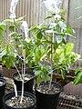 Starr 030523-0021 Gardenia brighamii.jpg