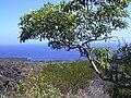 Starr 030716-0150 Rauvolfia sandwicensis.jpg