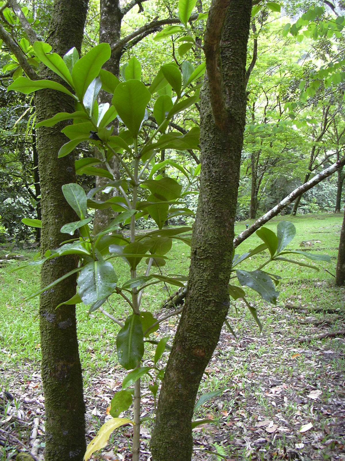 Fagraea berteroana - Wikipedia