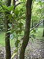 Starr 030807-0071 Fagraea berteroana.jpg