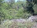 Starr 040125-0186 Casuarina equisetifolia.jpg