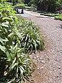 Starr 040405-0226 Dianella sandwicensis.jpg