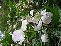 Starr 050501-1092 Rubus argutus.jpg