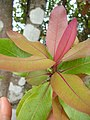 Starr 051029-8360 Myrsine lanaiensis.jpg
