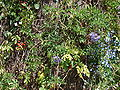 Starr 070228-4903 Solanum seaforthianum.jpg