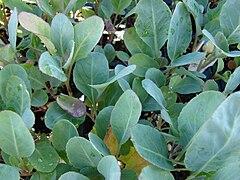 Starr 080103-1276 Brassica oleracea var. capitata