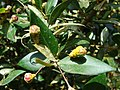 Starr 080304-3232 Myrtus communis.jpg