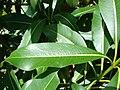 Starr 080415-4061 Rauvolfia sandwicensis.jpg