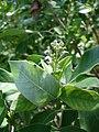 Starr 080602-5542 Vitex trifolia.jpg