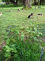 Starr 080608-7440 Solanum melongena.jpg