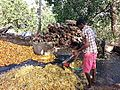 Step 2 - Cashew fruit pulp being collected for juicing.jpg