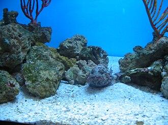 Mote Marine Laboratory - Image: Stone fish on display at Mote Marine Laboratory