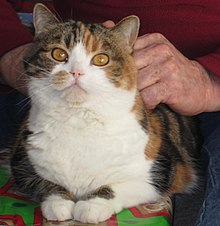 Scottish Fold , Wikipedia