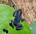 Strawberry poison-dart frog (Oophaga pumilio or Dendrobates pumilio) (9437512366).jpg
