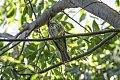 Streaked Flycatcher (Myiodynastes maculatus) (8077537299).jpg