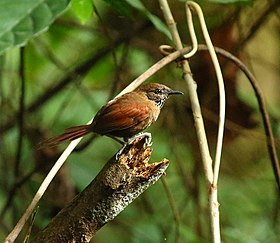 Stripe-breasted spinetail Gomez-Aripo (34046265243).jpg
