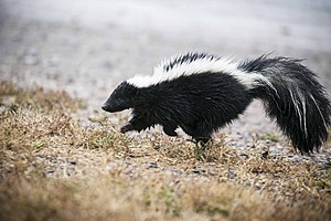 Striped skunk, close (21303507080).jpg