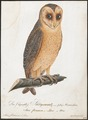 Strix flammea - 1800-1812 - Print - Iconographia Zoologica - Special Collections University of Amsterdam - UBA01 IZ18400233.tif