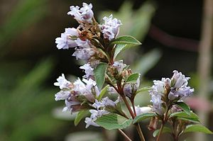 Iraiyanar Akapporul - The kurinci theme - named for Strobilanthes kunthiana - deals with the clandestine union of lovers