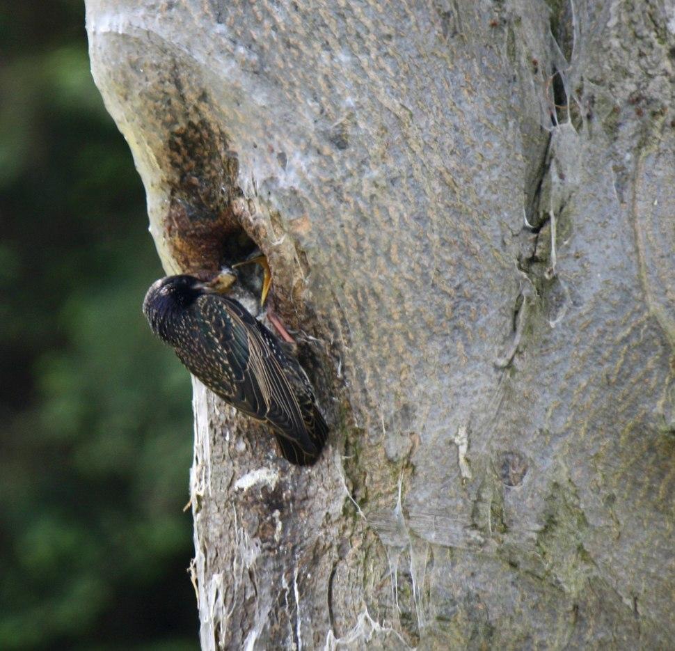 Sturnus vulgaris -Southend-on-Sea, Essex, England -nest-8