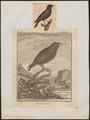 Sturnus vulgaris - 1700-1880 - Print - Iconographia Zoologica - Special Collections University of Amsterdam - UBA01 IZ15800077.tif