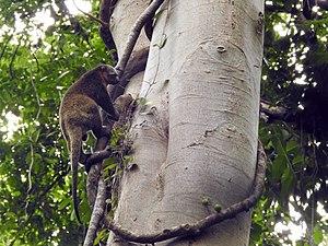Sulawesi bear cuscus - Image: Sulawesi trsr DSCN0548 v 1