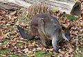 Sumpfwallaby Wallabia bicolor Tierpark Hellabrunn-7.jpg